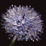 Dew Covered Dandelion