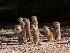 Baby Mini Meerkats