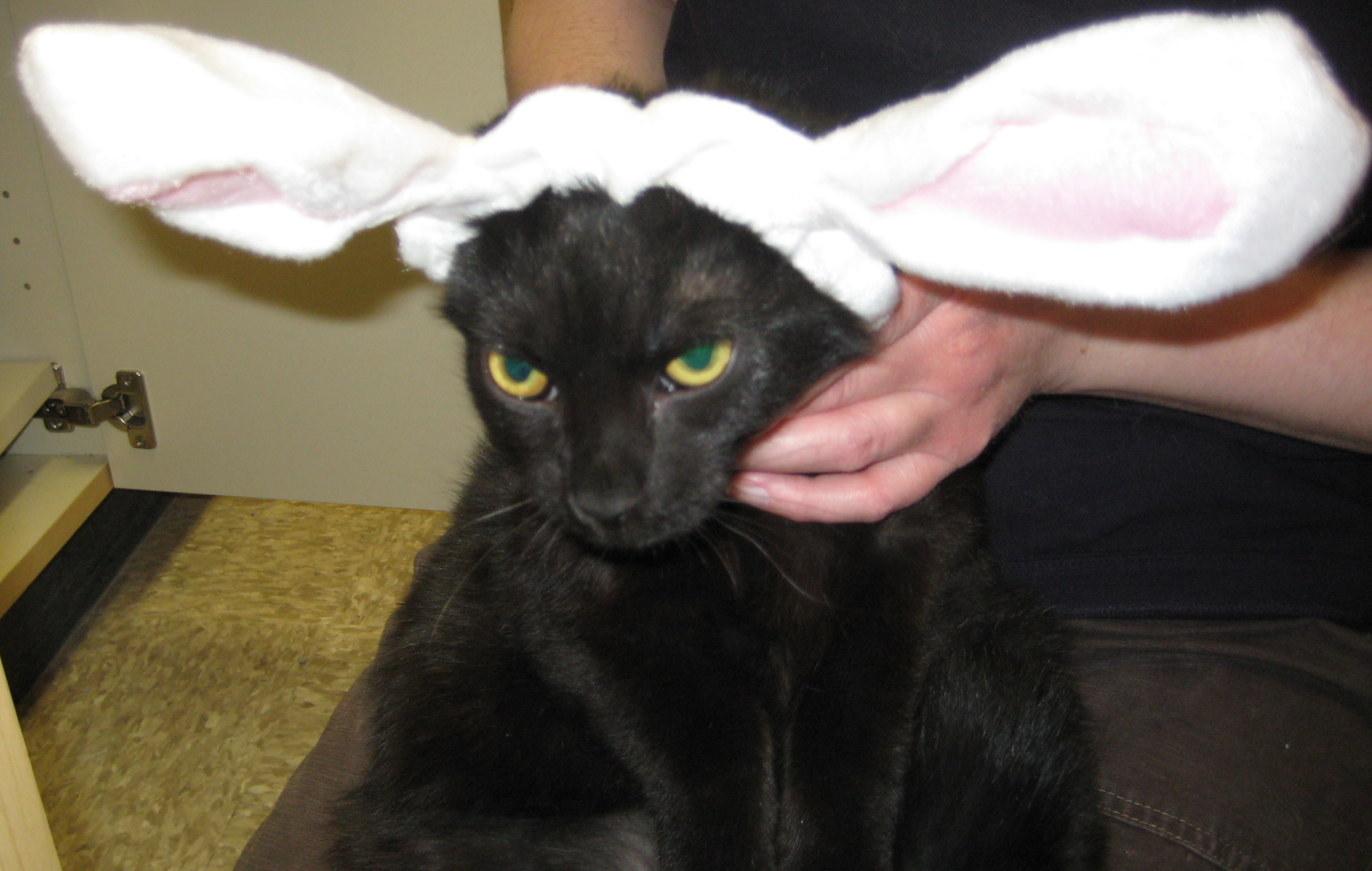 An unhappy cat with rabbit ears.  Happy Easter!